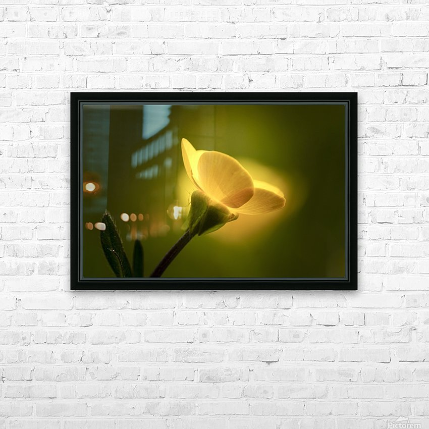 A yellow flower glowing in sunlight; South Shields, Tyne and Wear, England HD Sublimation Metal print with Decorating Float Frame (BOX)