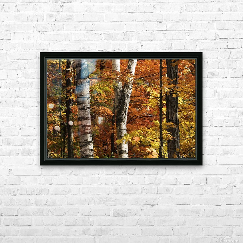 The colourful leaves and birch tree trunks in Algonquin Park; Ontario, Canada HD Sublimation Metal print with Decorating Float Frame (BOX)