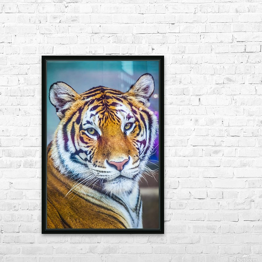 Portrait of Bengal Tiger (panthera tigris tigris) endangered species, captive; Chippewa Falls, Wisconsin, United States of America HD Sublimation Metal print with Decorating Float Frame (BOX)