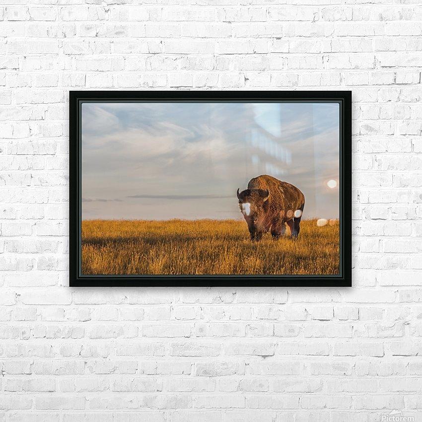 Bison (bison bison), Grasslands National Park; Saskatchewan, Canada HD Sublimation Metal print with Decorating Float Frame (BOX)