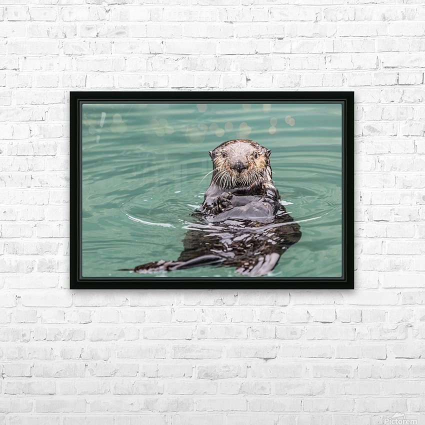 Close-up of a Sea Otter (Enhydra lutris) floating on it's back, looking towards the camera, South-central Alaska; Seward, Alaska, United States of America HD Sublimation Metal print with Decorating Float Frame (BOX)