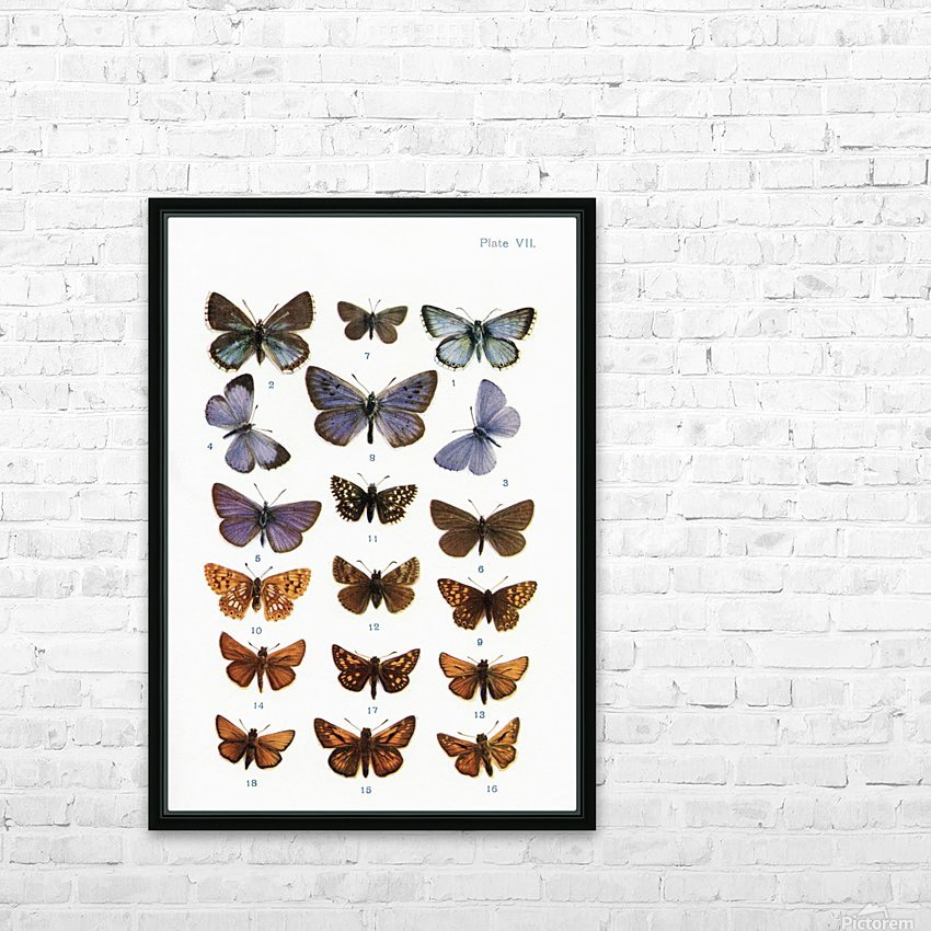 Different types of butterflies. Illustration by W.S.Furneaux. From the book Butterflies, Moths and Other Insects and Creatures of the Countryside. Published 1927. HD Sublimation Metal print with Decorating Float Frame (BOX)