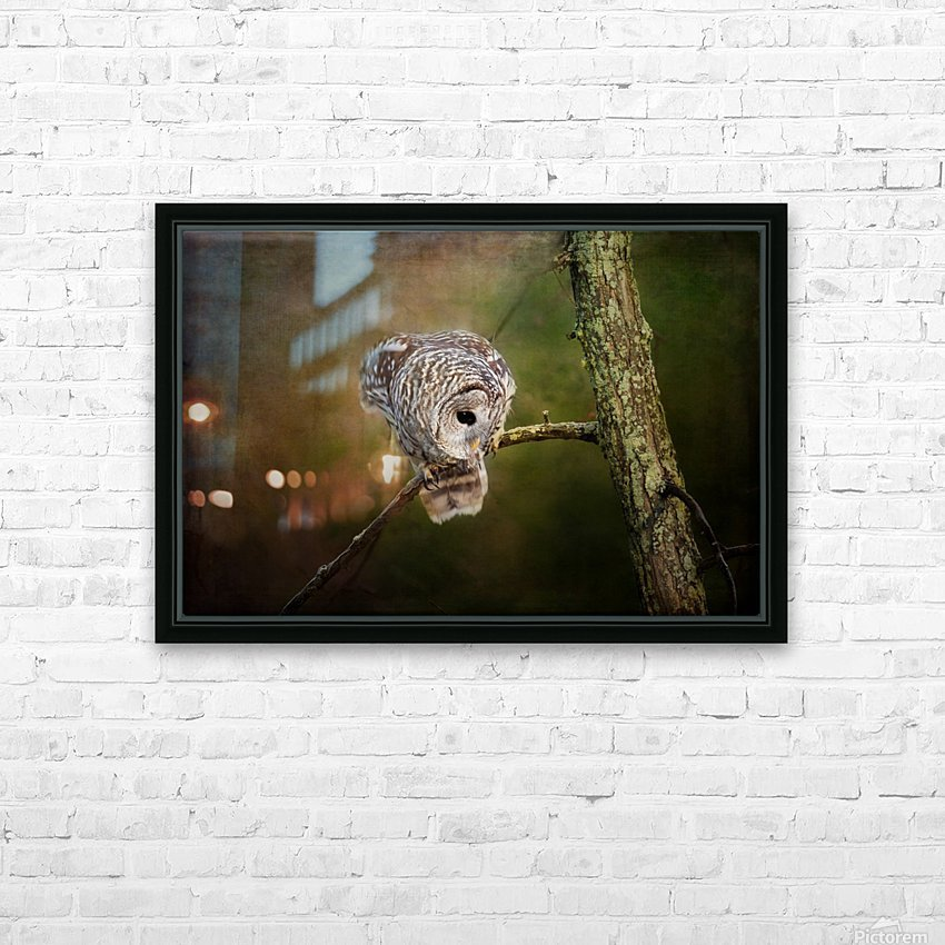Barred Owl Eyeing Prey. HD Sublimation Metal print with Decorating Float Frame (BOX)