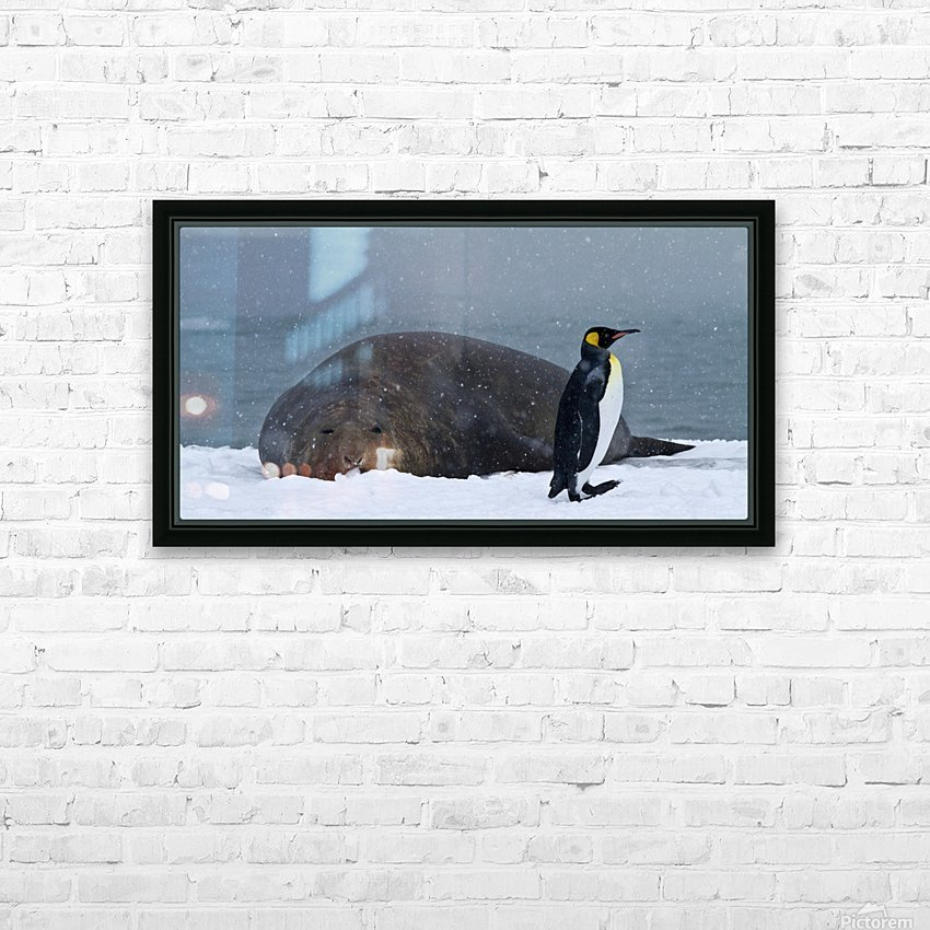 King Penguin walking nest to Elephant Seal HD Sublimation Metal print with Decorating Float Frame (BOX)
