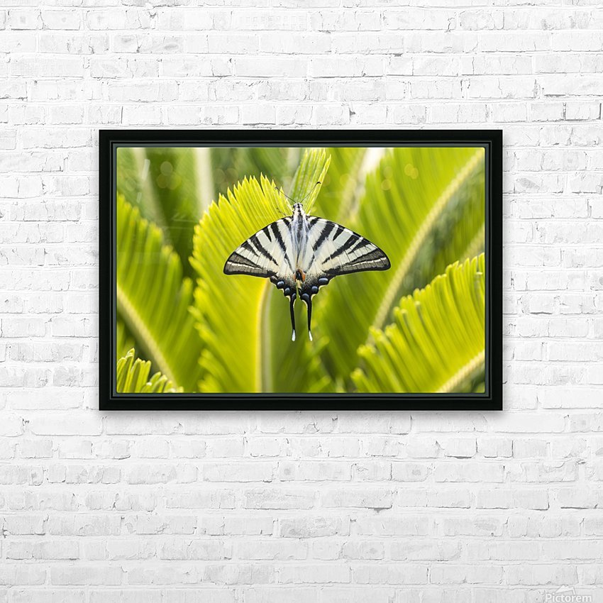Scarce swallowtail butterfly HD Sublimation Metal print with Decorating Float Frame (BOX)