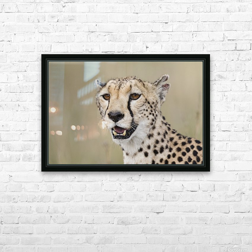 Cheetah Portrait by www.jadupontphoto.com HD Sublimation Metal print with Decorating Float Frame (BOX)