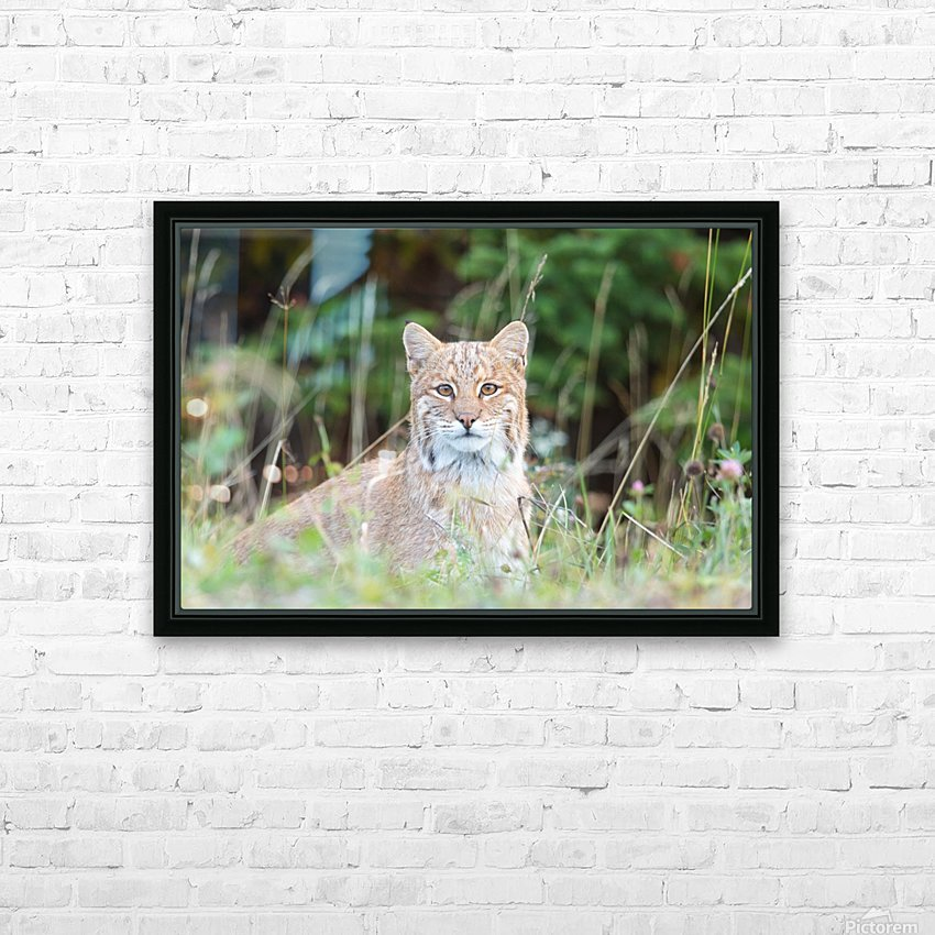 Wild Bobcat HD Sublimation Metal print with Decorating Float Frame (BOX)