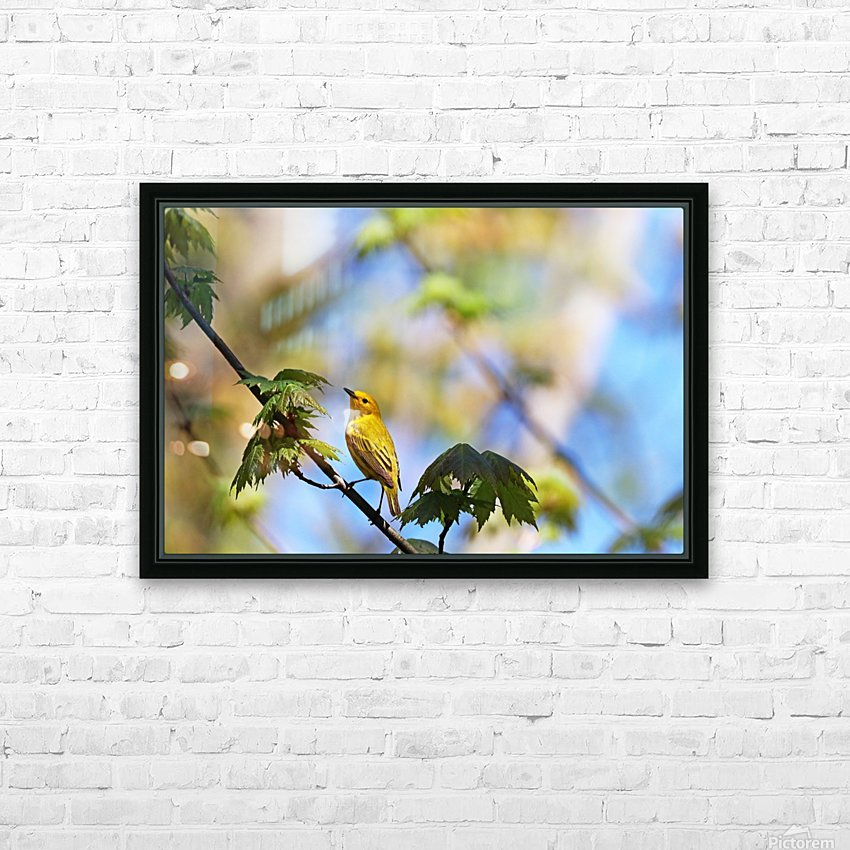 Yellow Warbler In Maple Tree HD Sublimation Metal print with Decorating Float Frame (BOX)