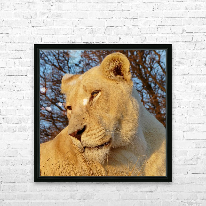 White Lioness Sunset 593 HD Sublimation Metal print with Decorating Float Frame (BOX)