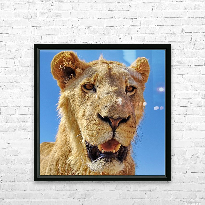 Lion close up square HD Sublimation Metal print with Decorating Float Frame (BOX)