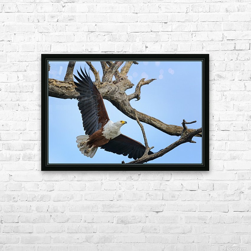 african fish eagle HD Sublimation Metal print with Decorating Float Frame (BOX)