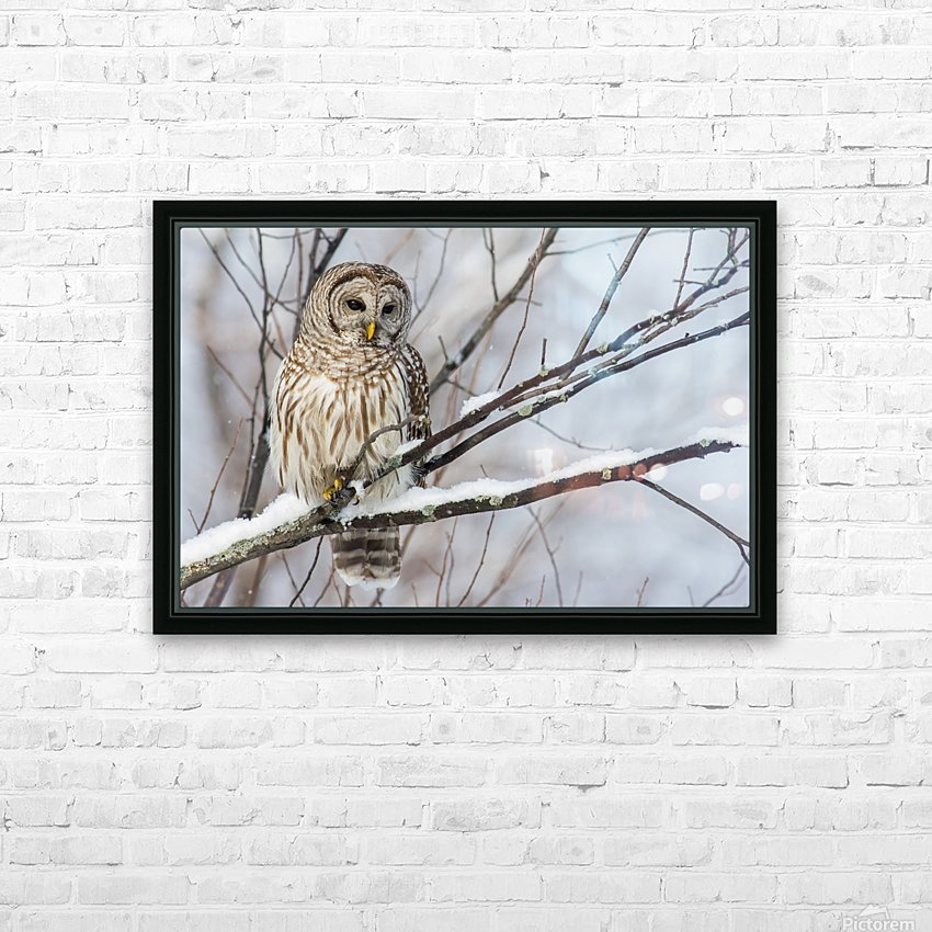 Barred Owl on a Snowy Branch HD Sublimation Metal print with Decorating Float Frame (BOX)
