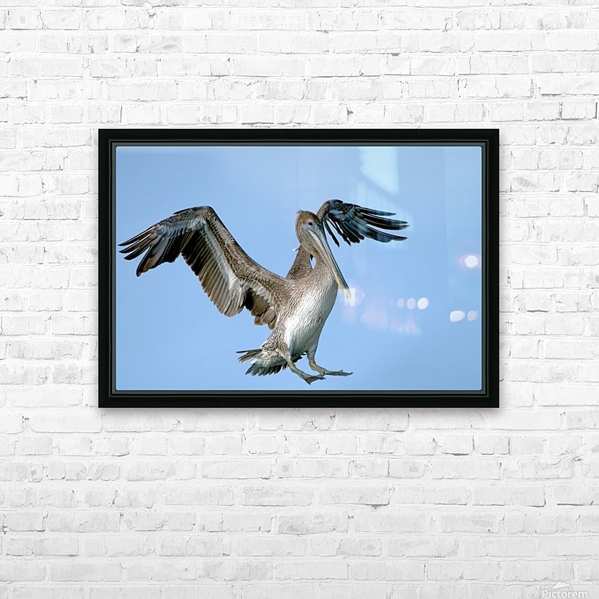 Arriving: Brown Pelican  2509 HD Sublimation Metal print with Decorating Float Frame (BOX)