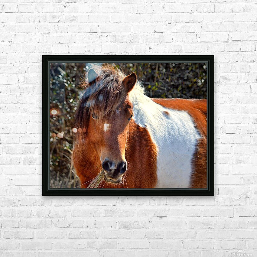 Assateague Pony Ms Macky HD Sublimation Metal print with Decorating Float Frame (BOX)