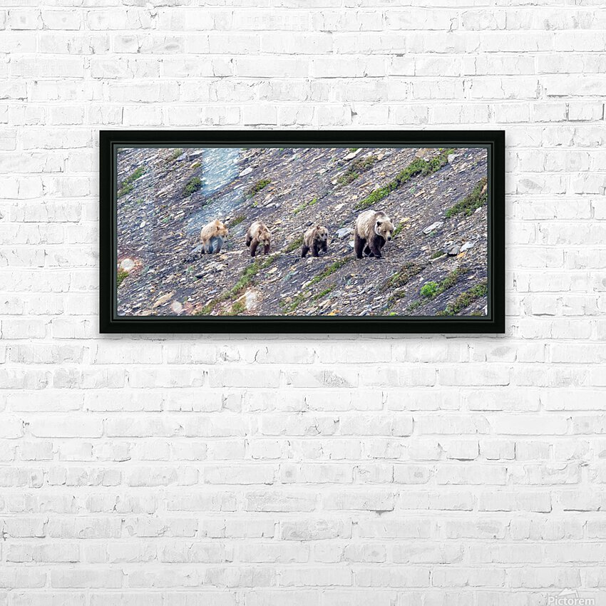 Grizzly Bear Family - Walk this way.  Kananaskis Country Alberta. Canada HD Sublimation Metal print with Decorating Float Frame (BOX)