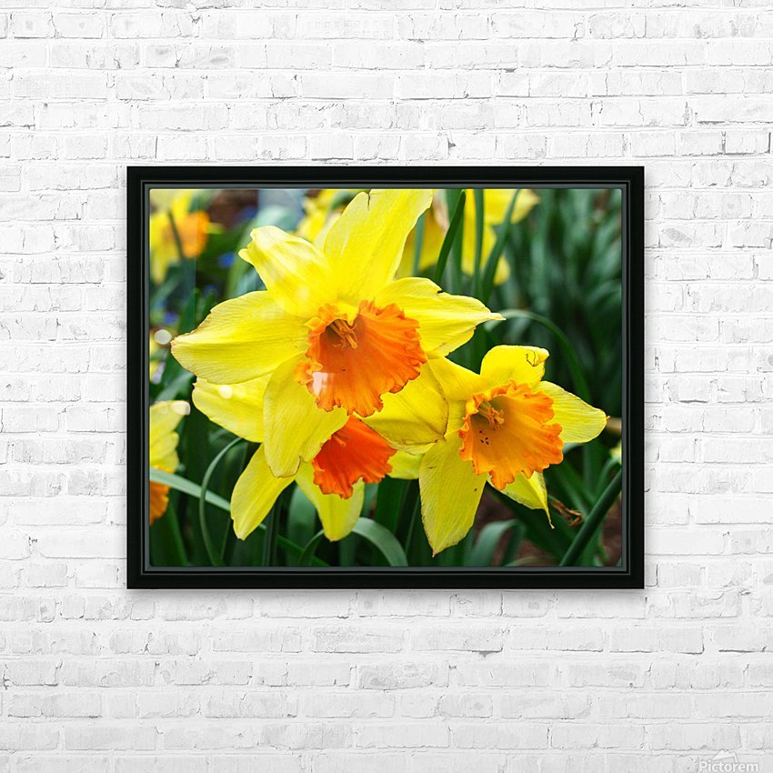 Daffodils HD Sublimation Metal print with Decorating Float Frame (BOX)