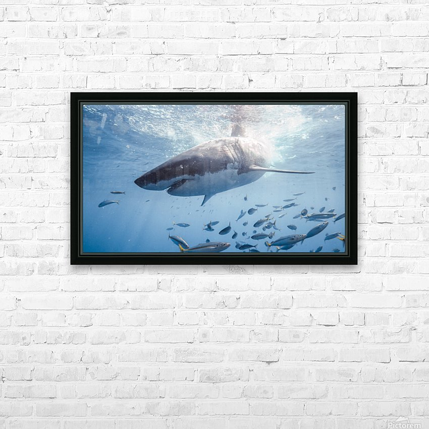 Great White Dive HD Sublimation Metal print with Decorating Float Frame (BOX)