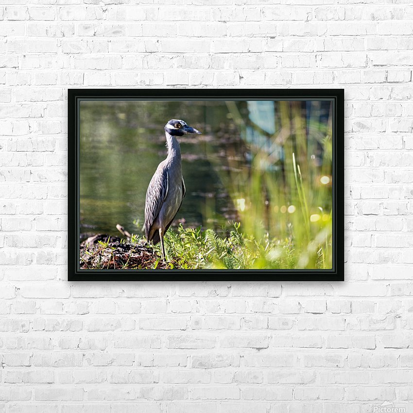 Yellow crowned Night Heron at Brick Pond Park 4690 HD Sublimation Metal print with Decorating Float Frame (BOX)