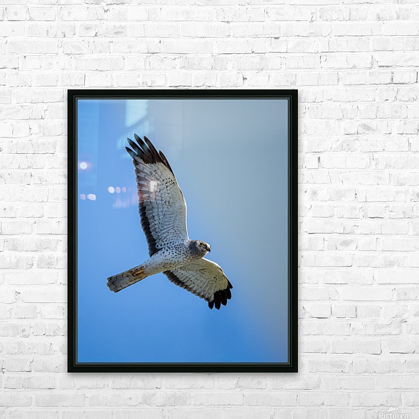 Northern Harrier in Flight HD Sublimation Metal print with Decorating Float Frame (BOX)