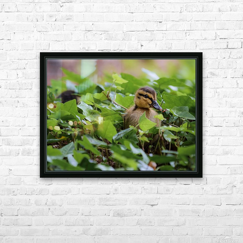 Duck In Plants HD Sublimation Metal print with Decorating Float Frame (BOX)