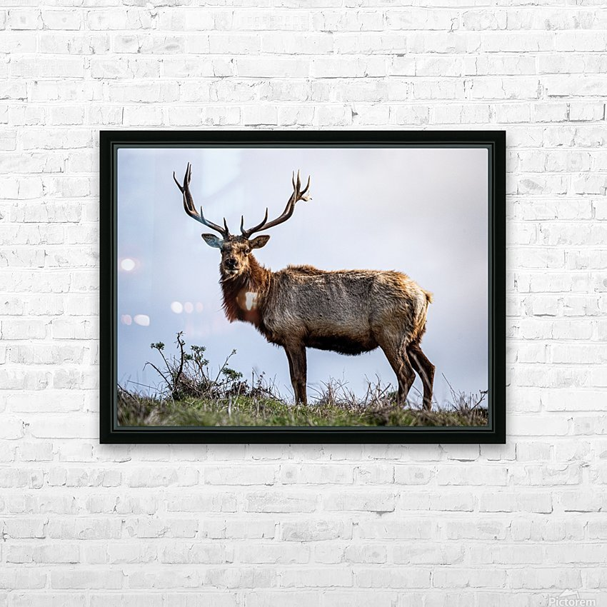 Tule Elk HD Sublimation Metal print with Decorating Float Frame (BOX)