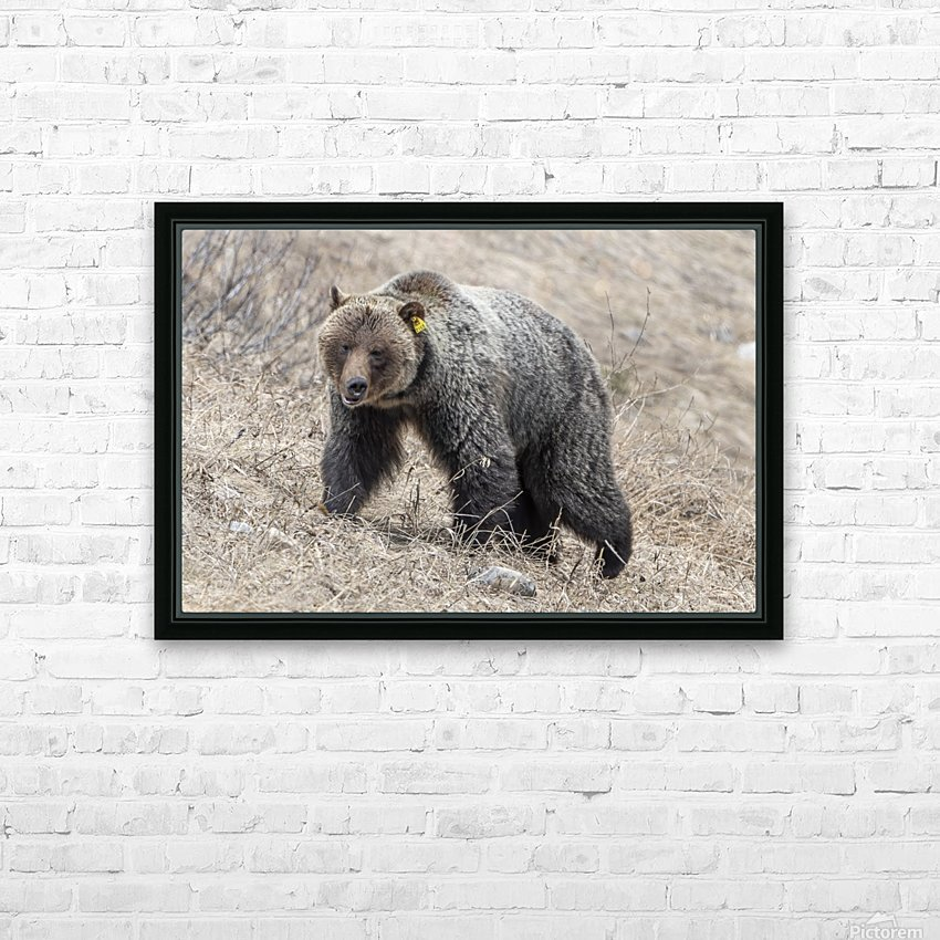 6970 - Grizzly Bear 2160 HD Sublimation Metal print with Decorating Float Frame (BOX)
