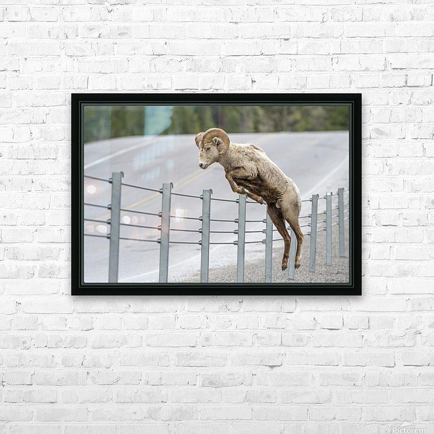 7585 - Bighorn Sheep - Kananaskis Country Alberta. Canada HD Sublimation Metal print with Decorating Float Frame (BOX)
