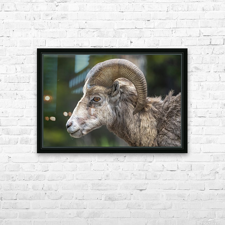 5513 - Big Horn Sheep  Banff National Park Canada HD Sublimation Metal print with Decorating Float Frame (BOX)