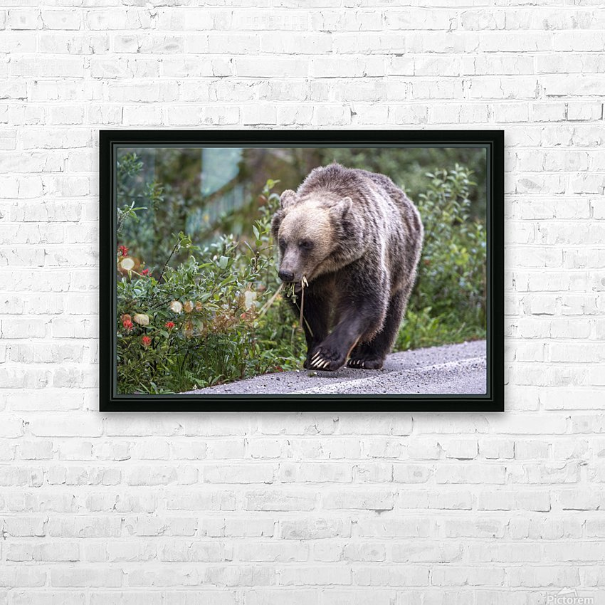 0037 - Grizzly Bear with Dandelions in Banff National Park Canada. HD Sublimation Metal print with Decorating Float Frame (BOX)