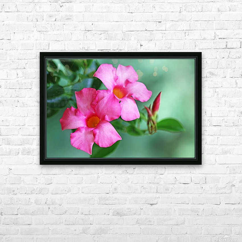 Mandevilla In Pink HD Sublimation Metal print with Decorating Float Frame (BOX)