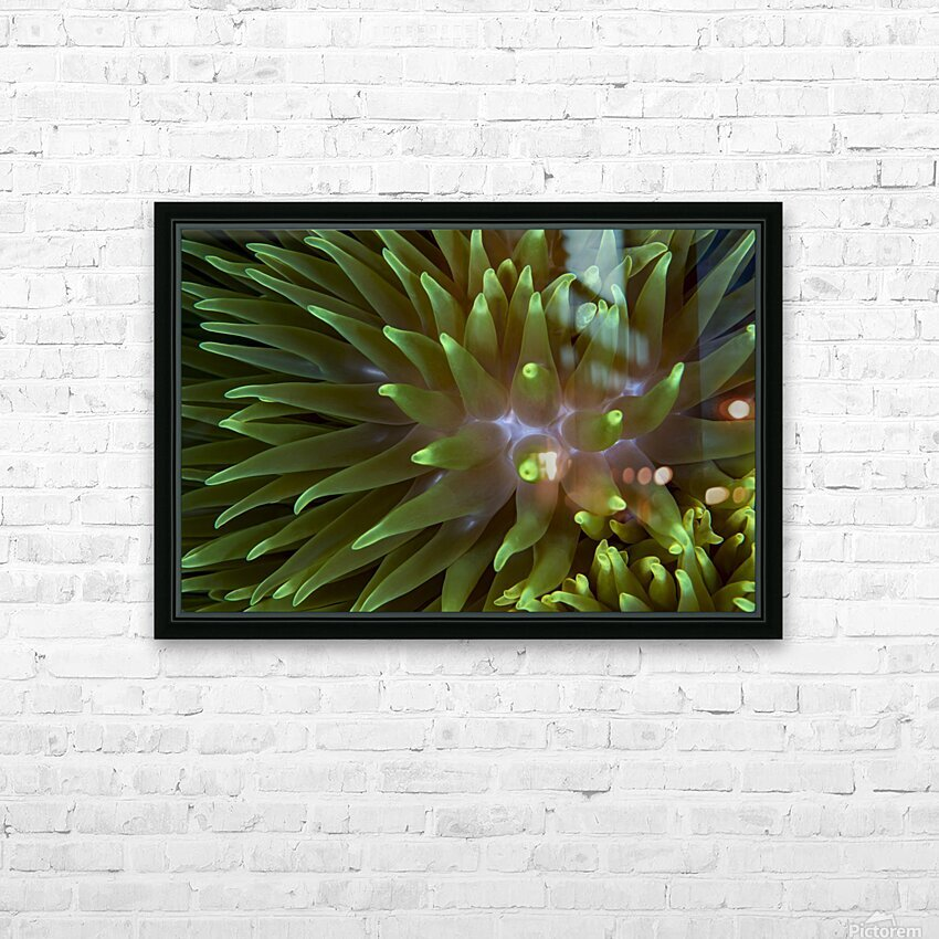 Sea Anemone 4 HD Sublimation Metal print with Decorating Float Frame (BOX)
