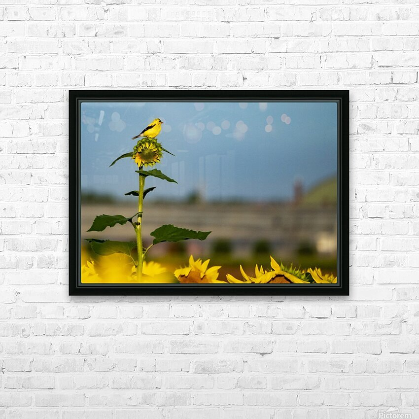 Sunflower Perch HD Sublimation Metal print with Decorating Float Frame (BOX)