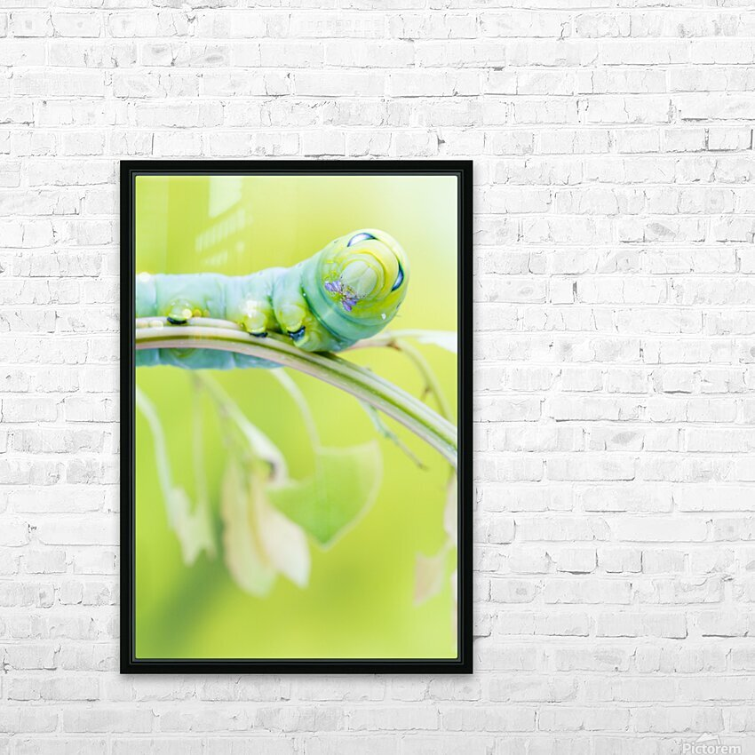 an Daphnis Nerii HD Sublimation Metal print with Decorating Float Frame (BOX)