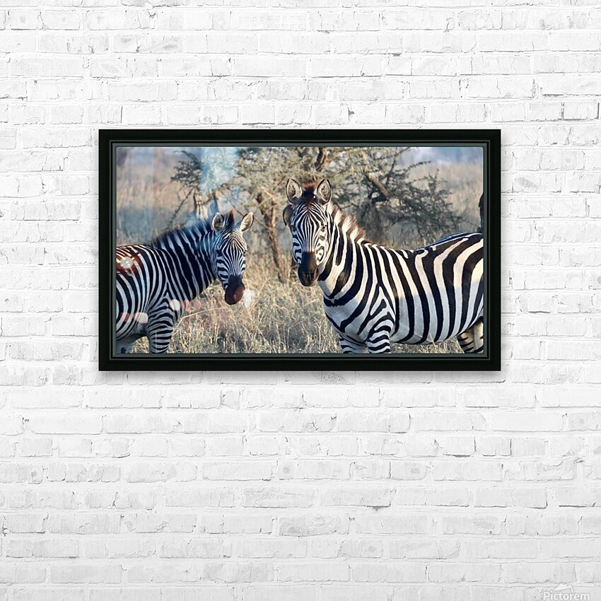 Zebras HD Sublimation Metal print with Decorating Float Frame (BOX)