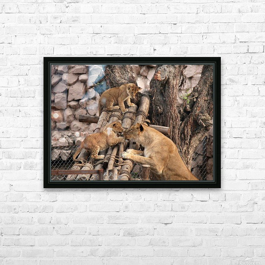 Lioness baby in Lucknow Zoo (1) HD Sublimation Metal print with Decorating Float Frame (BOX)