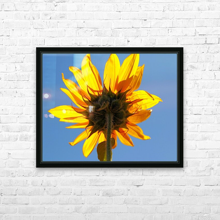 Glowing Heliopsis HD Sublimation Metal print with Decorating Float Frame (BOX)