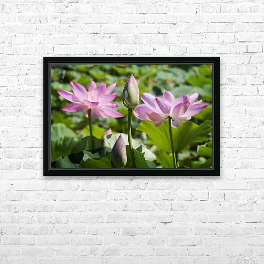 Lots bud with blooming lotus flowers behind HD Sublimation Metal print with Decorating Float Frame (BOX)