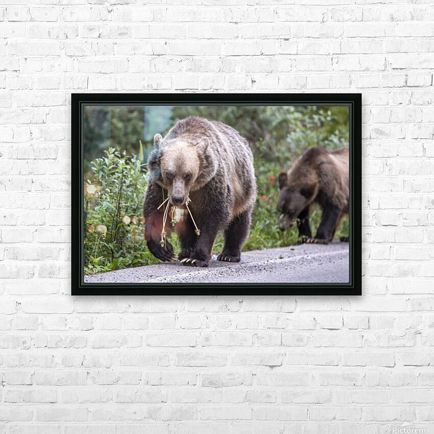 Grizzly Bear - Mouth Full HD Sublimation Metal print with Decorating Float Frame (BOX)