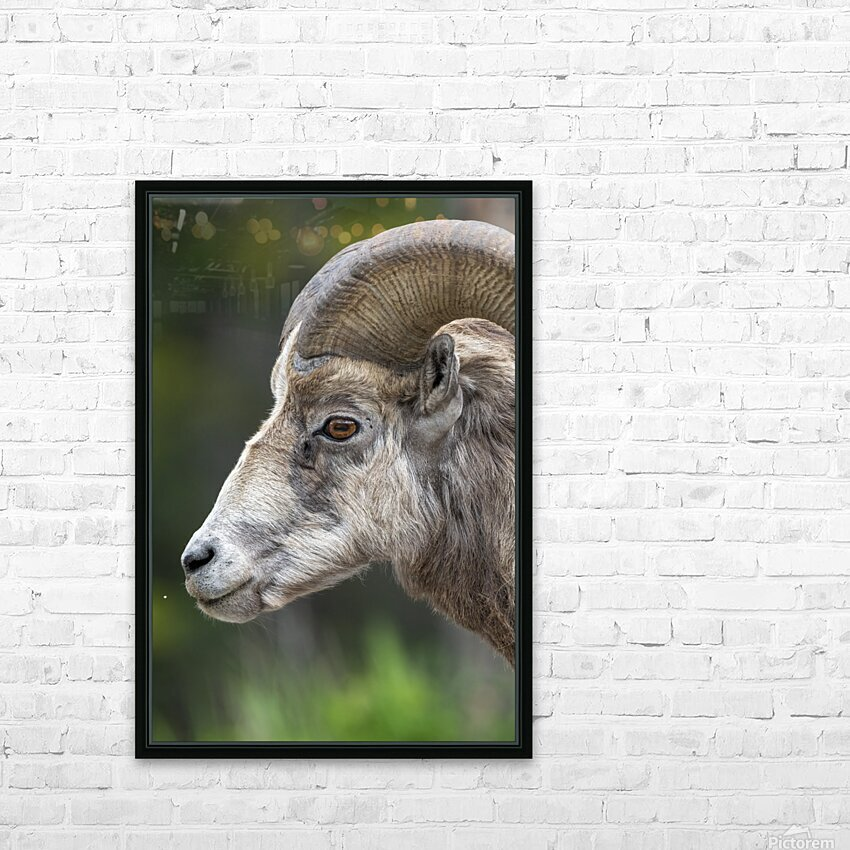5512 - Big Horn Sheep HD Sublimation Metal print with Decorating Float Frame (BOX)