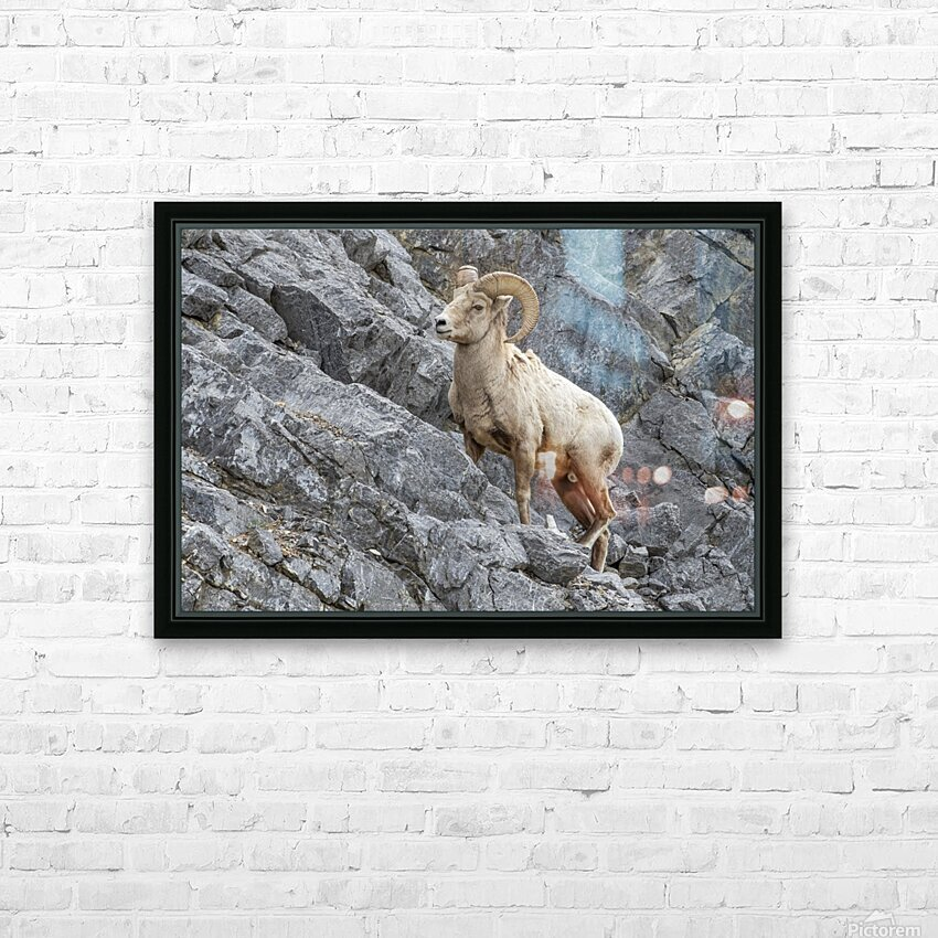 8016 - Big Horn Sheep HD Sublimation Metal print with Decorating Float Frame (BOX)