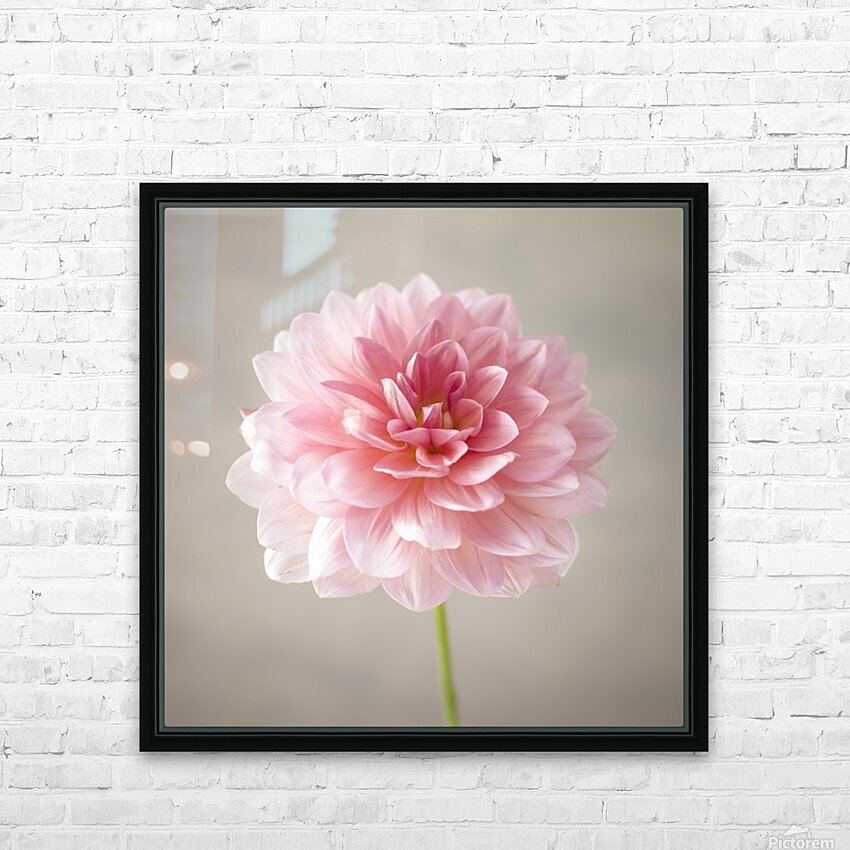 Dahlia flower on colored background HD Sublimation Metal print with Decorating Float Frame (BOX)
