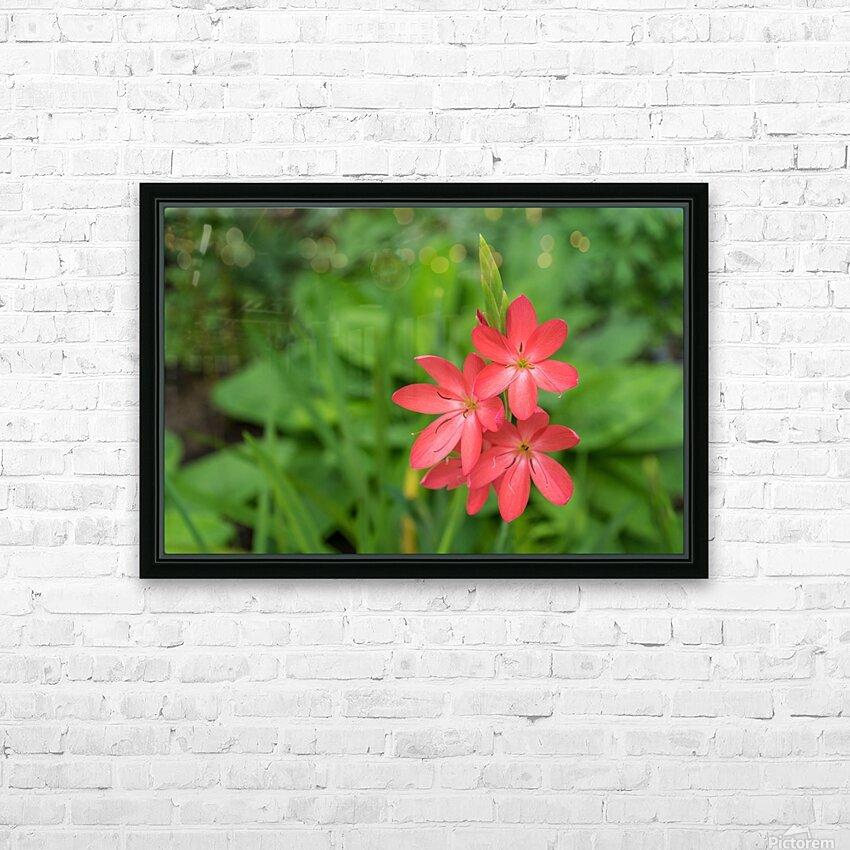 Three Bold Pink River Lily Blooms - Exotic South African Beauties in a Garden HD Sublimation Metal print with Decorating Float Frame (BOX)