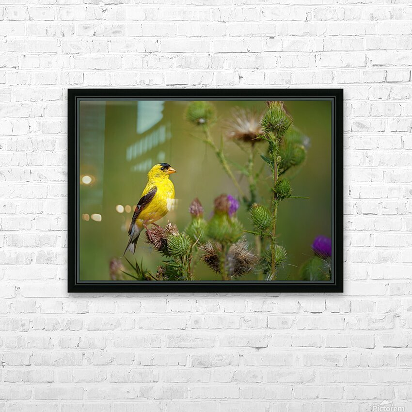 Goldfinch Male HD Sublimation Metal print with Decorating Float Frame (BOX)