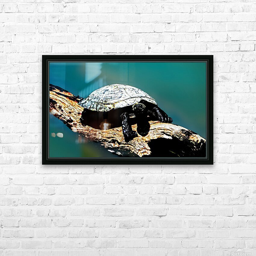 Snapping Turtle HD Sublimation Metal print with Decorating Float Frame (BOX)
