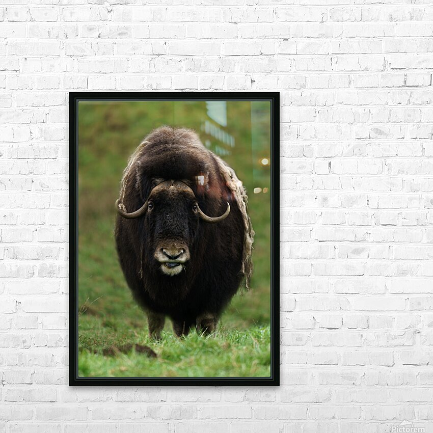 Muskox HD Sublimation Metal print with Decorating Float Frame (BOX)
