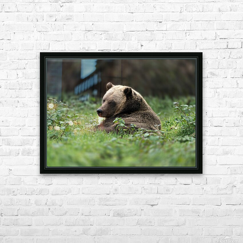 Grizzly Bear HD Sublimation Metal print with Decorating Float Frame (BOX)