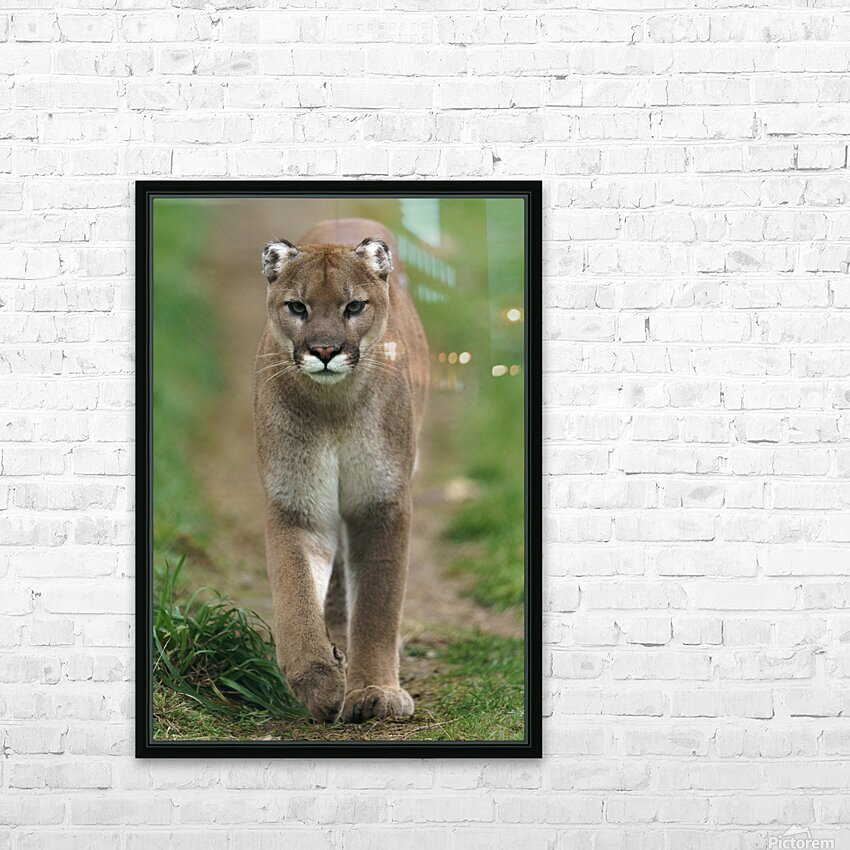 North American Cougar HD Sublimation Metal print with Decorating Float Frame (BOX)