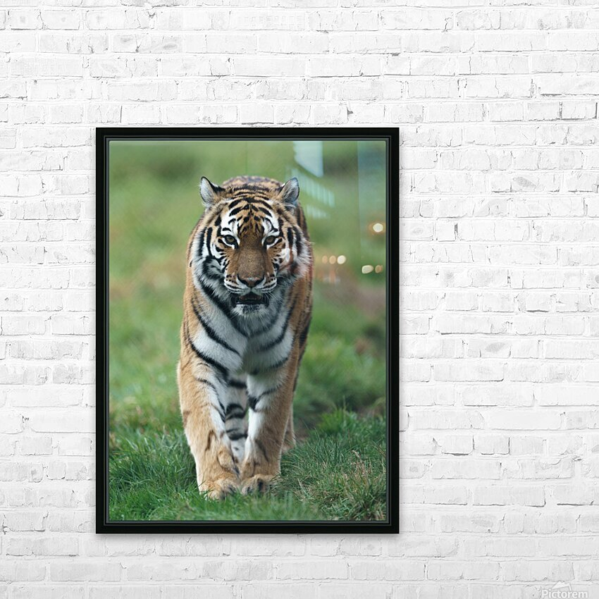 Siberian Tiger HD Sublimation Metal print with Decorating Float Frame (BOX)