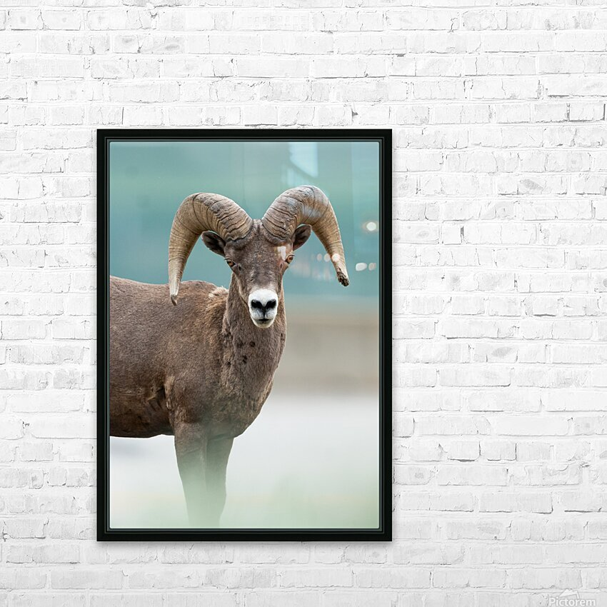 Bighorn Sheep HD Sublimation Metal print with Decorating Float Frame (BOX)