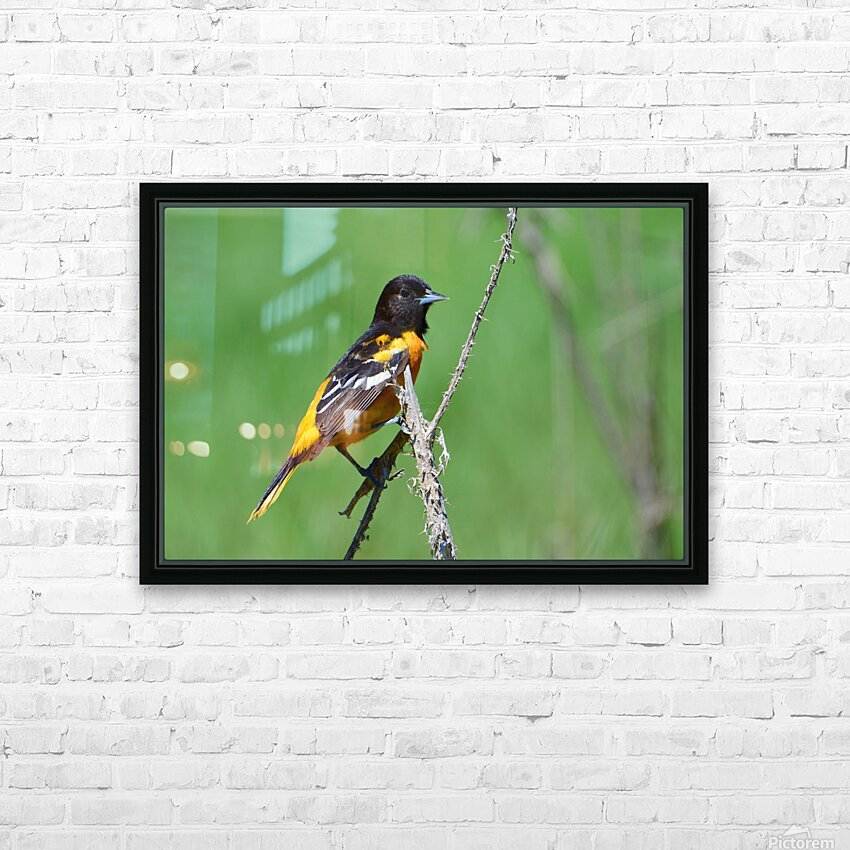 Baltimore Oriole HD Sublimation Metal print with Decorating Float Frame (BOX)